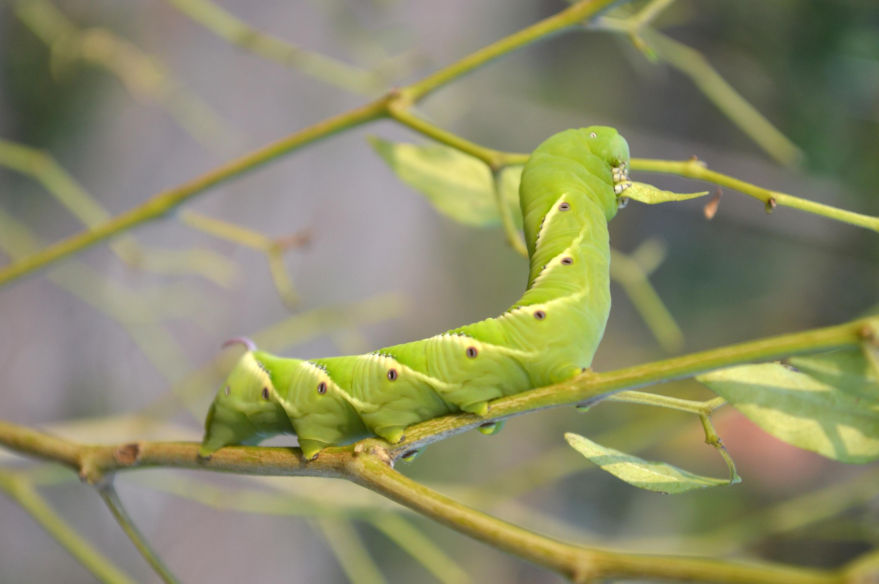 Nature caterpillar guyana