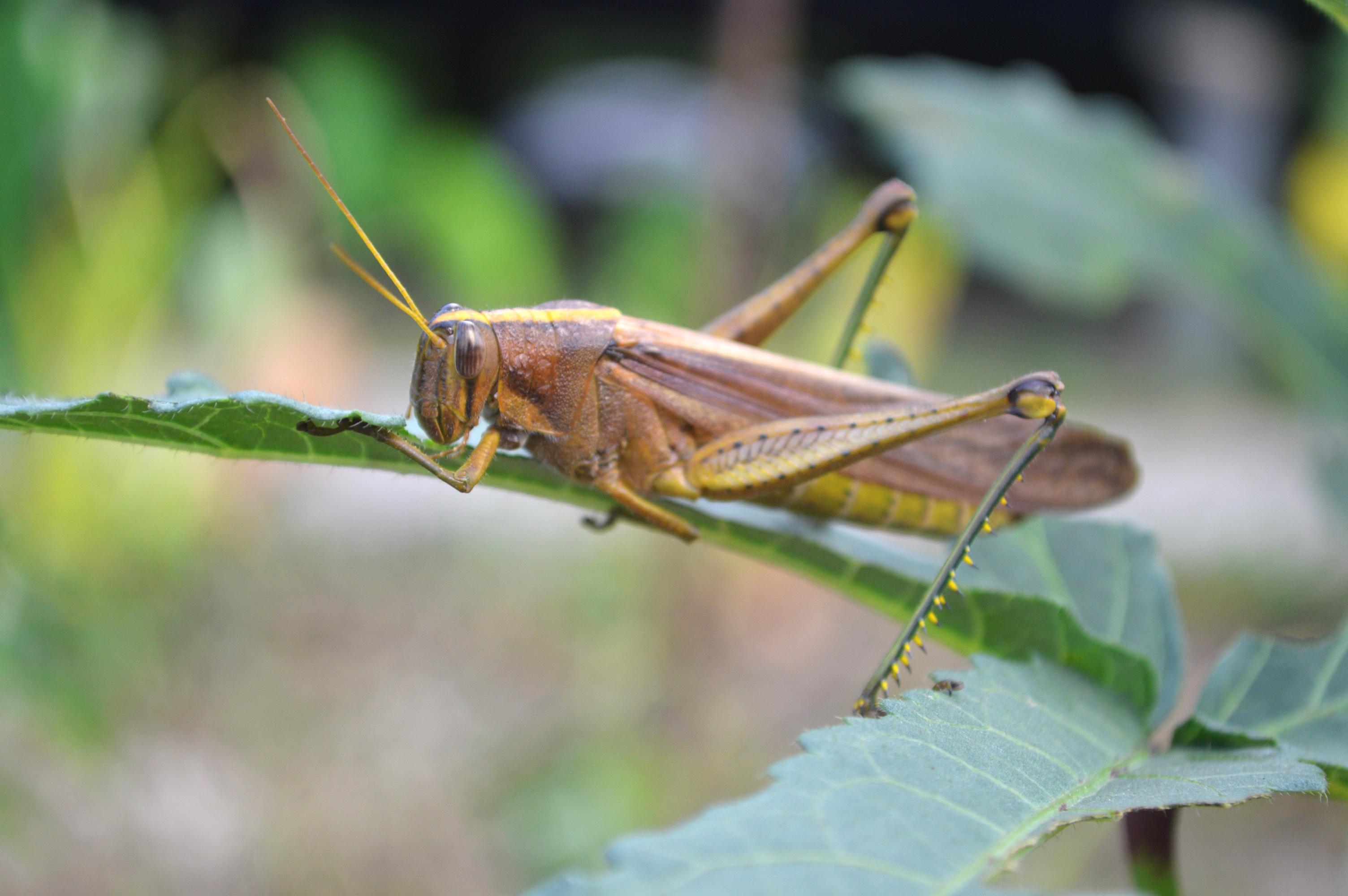 Nature grasshopper guyana