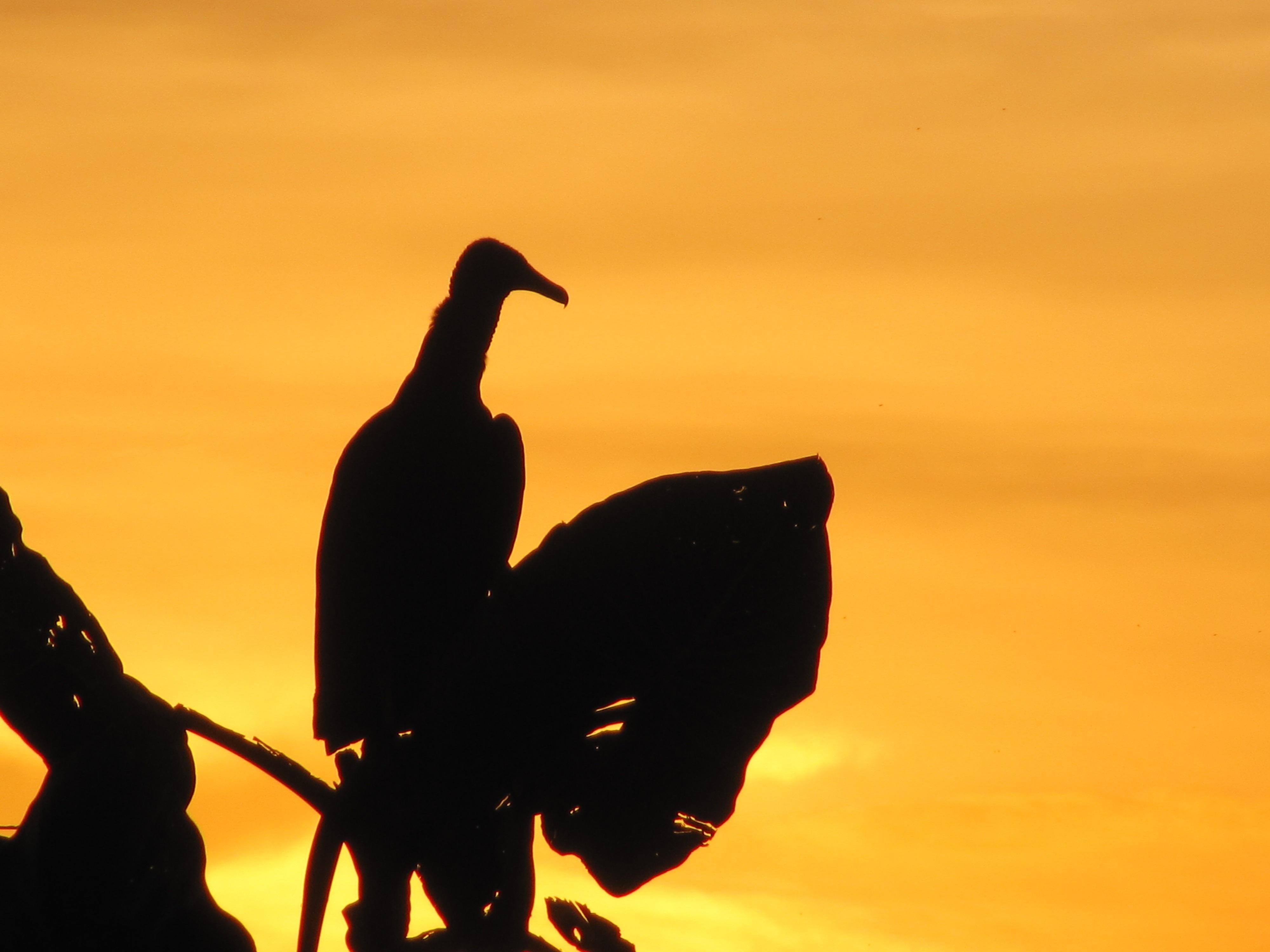 Animal guyana sunset