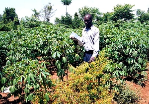 Array cassava disease