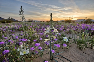 Desert Lily Preserve landscape in California