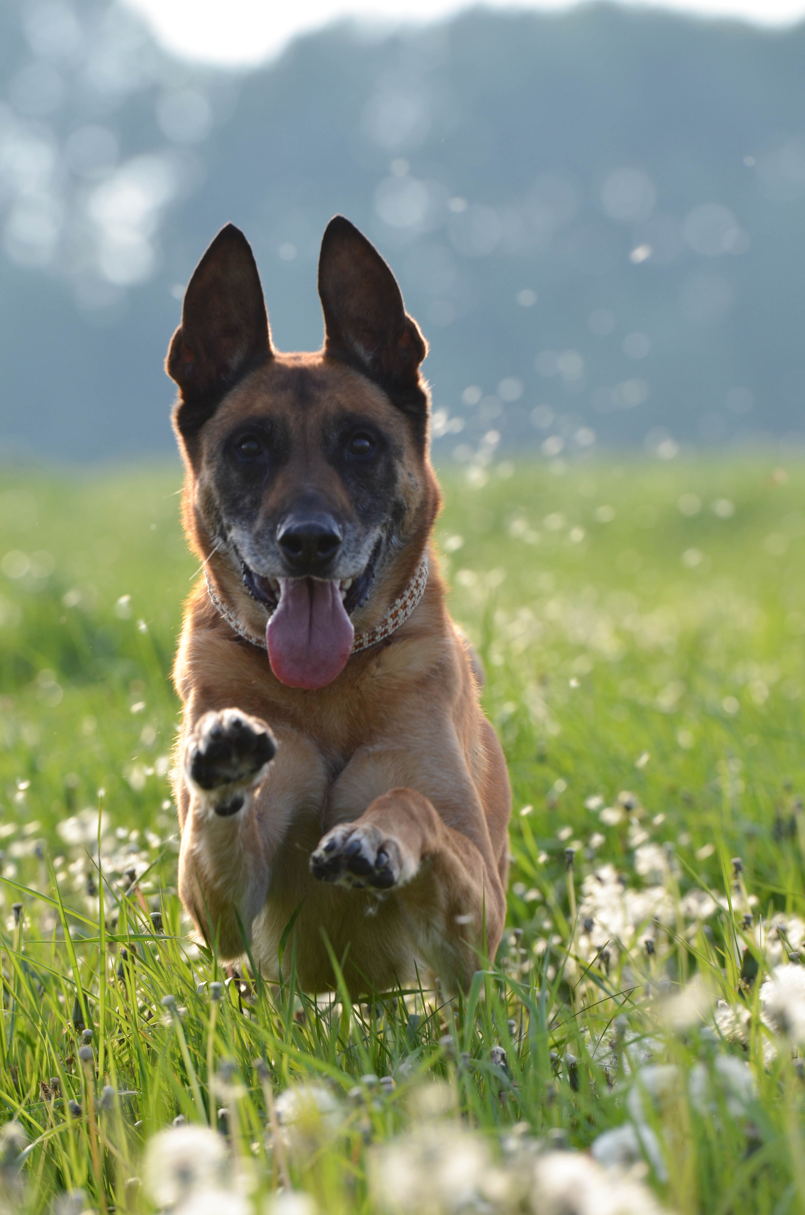 Meadow dog running on meadow motion recording