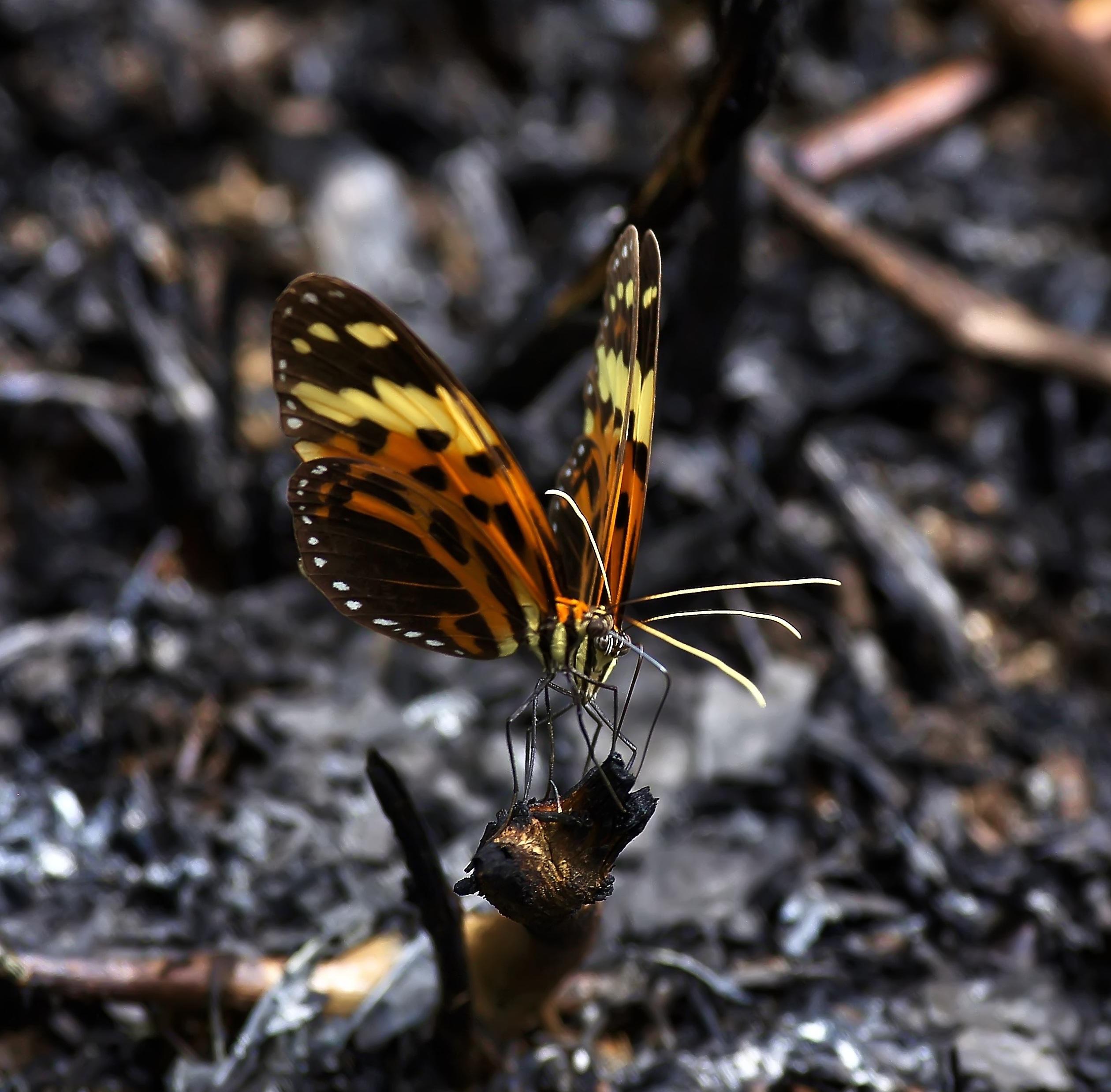 Butterflies two guyana