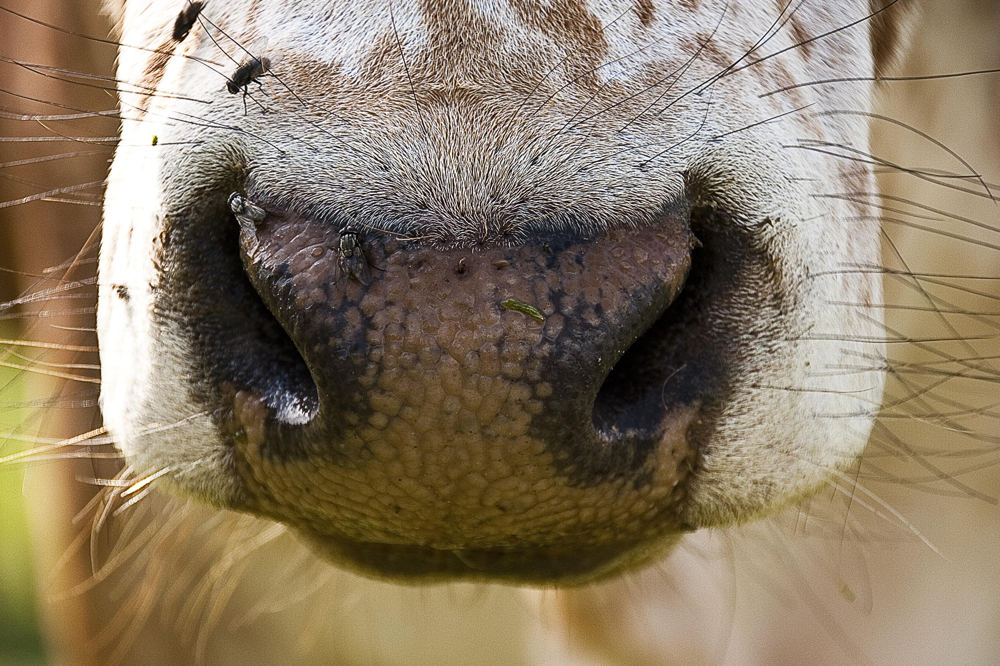 Cow zebu nose