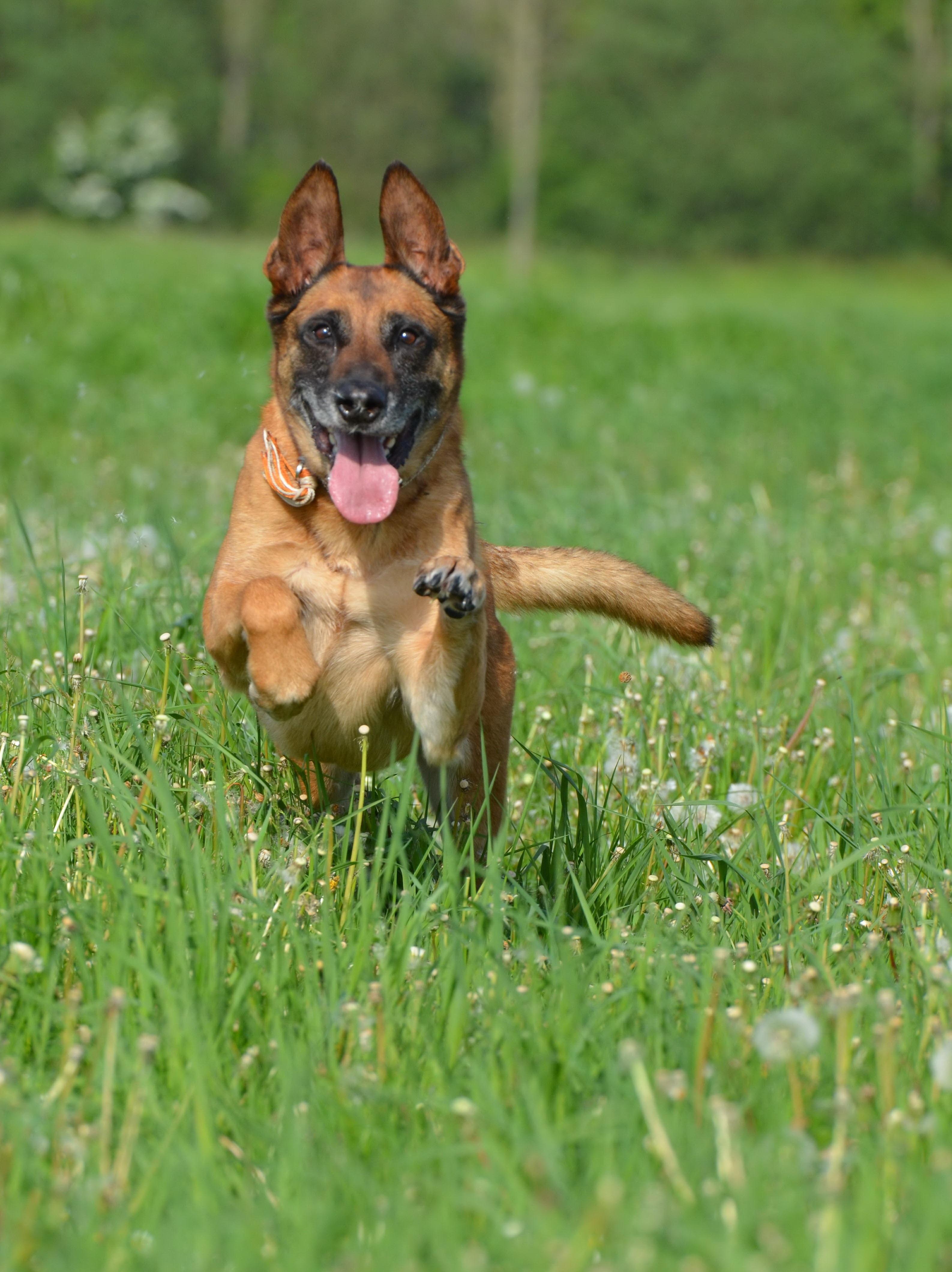 Belgian shepherd dog running dog motion recording