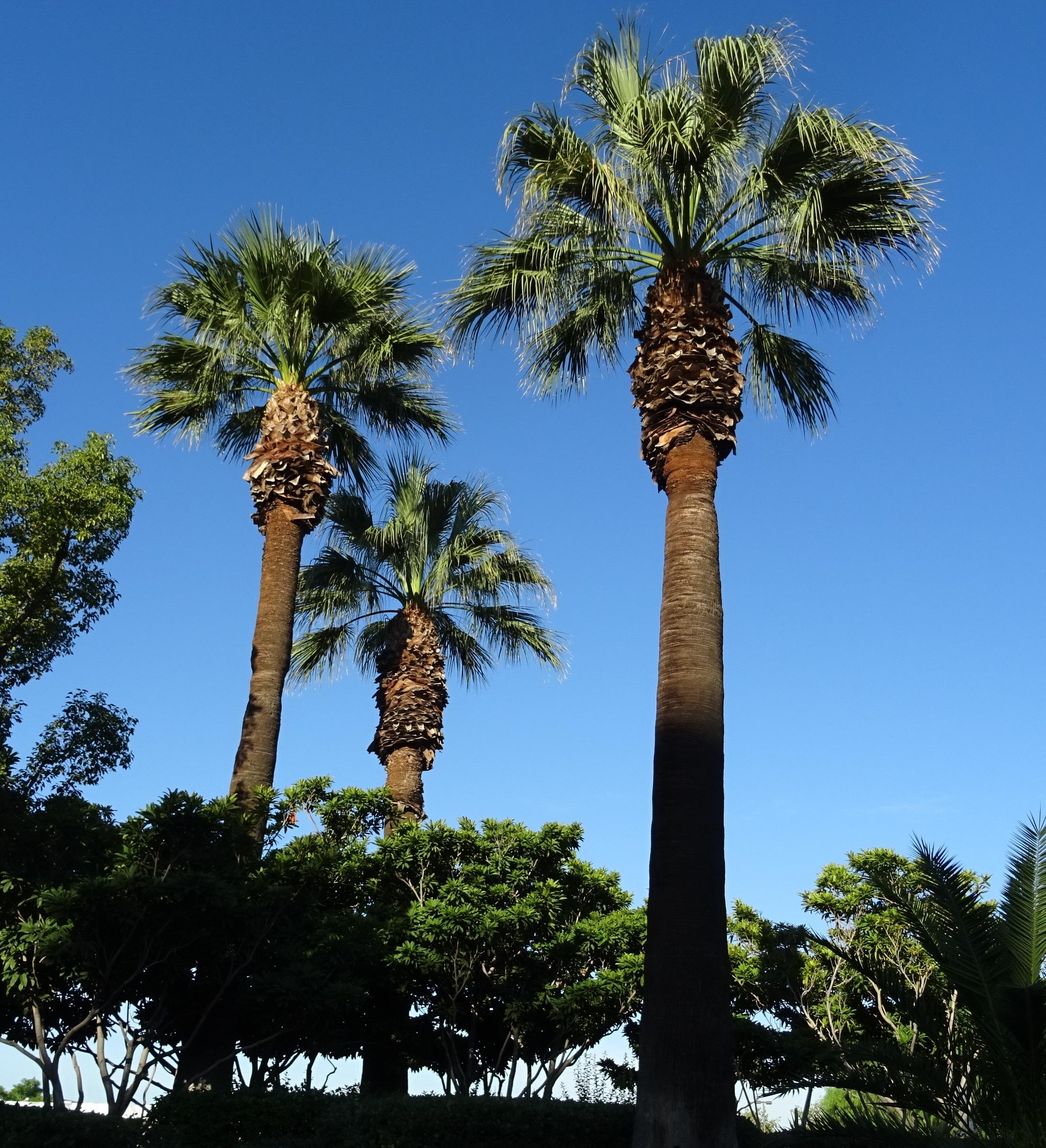Desert fan palm california fan palm california palm