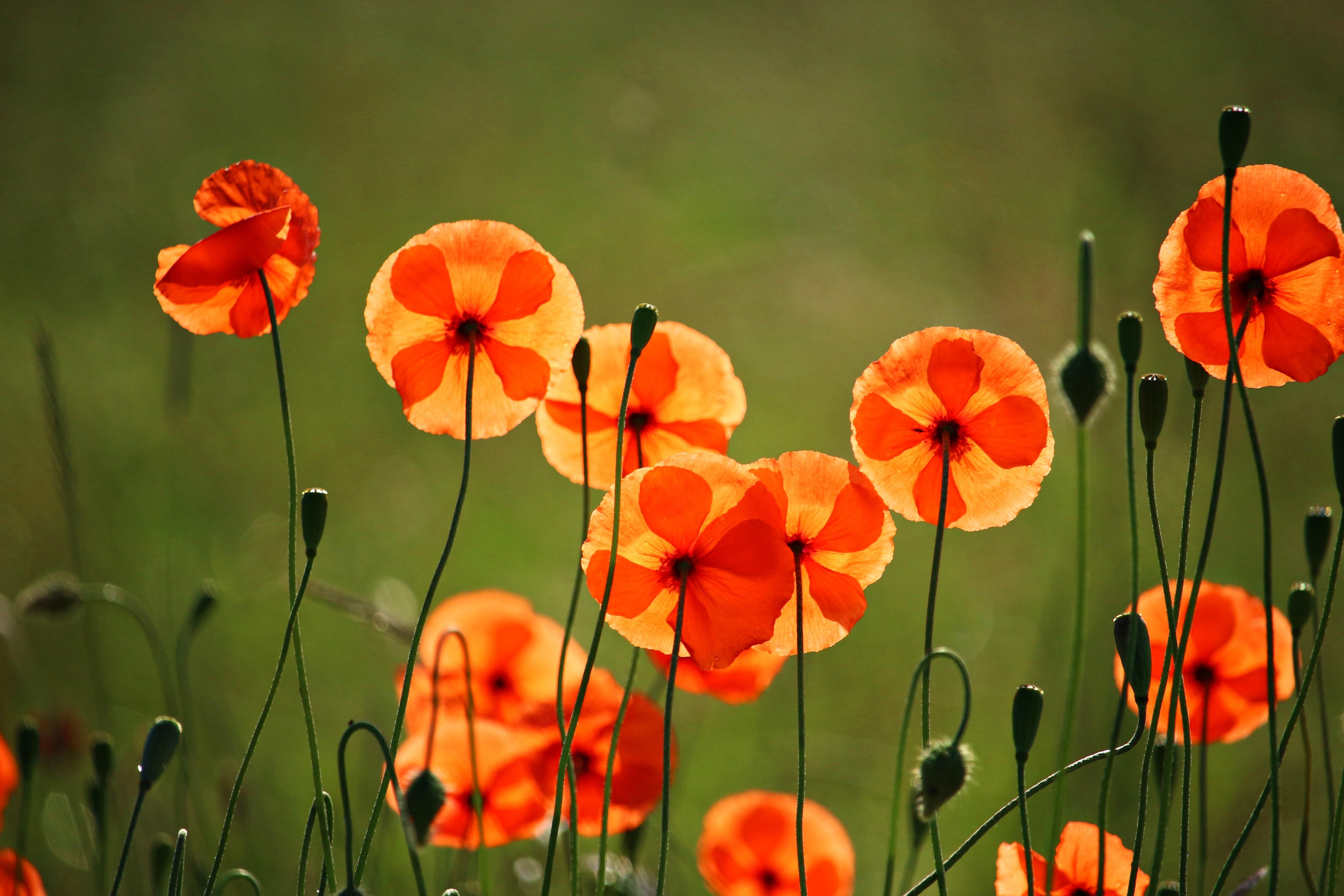 Poppy flower blossom bloom