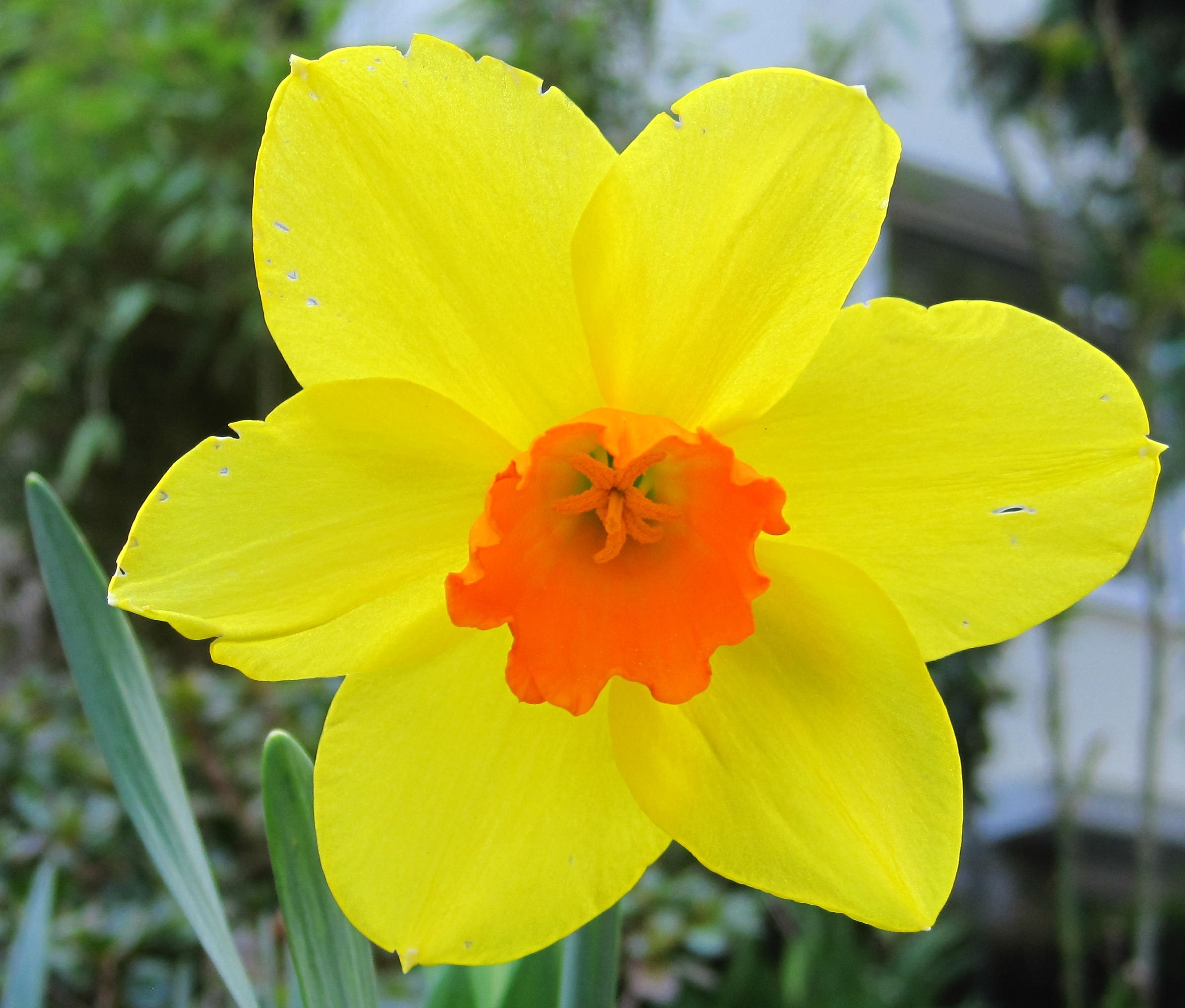 Spring yellow-and orange daffodil season