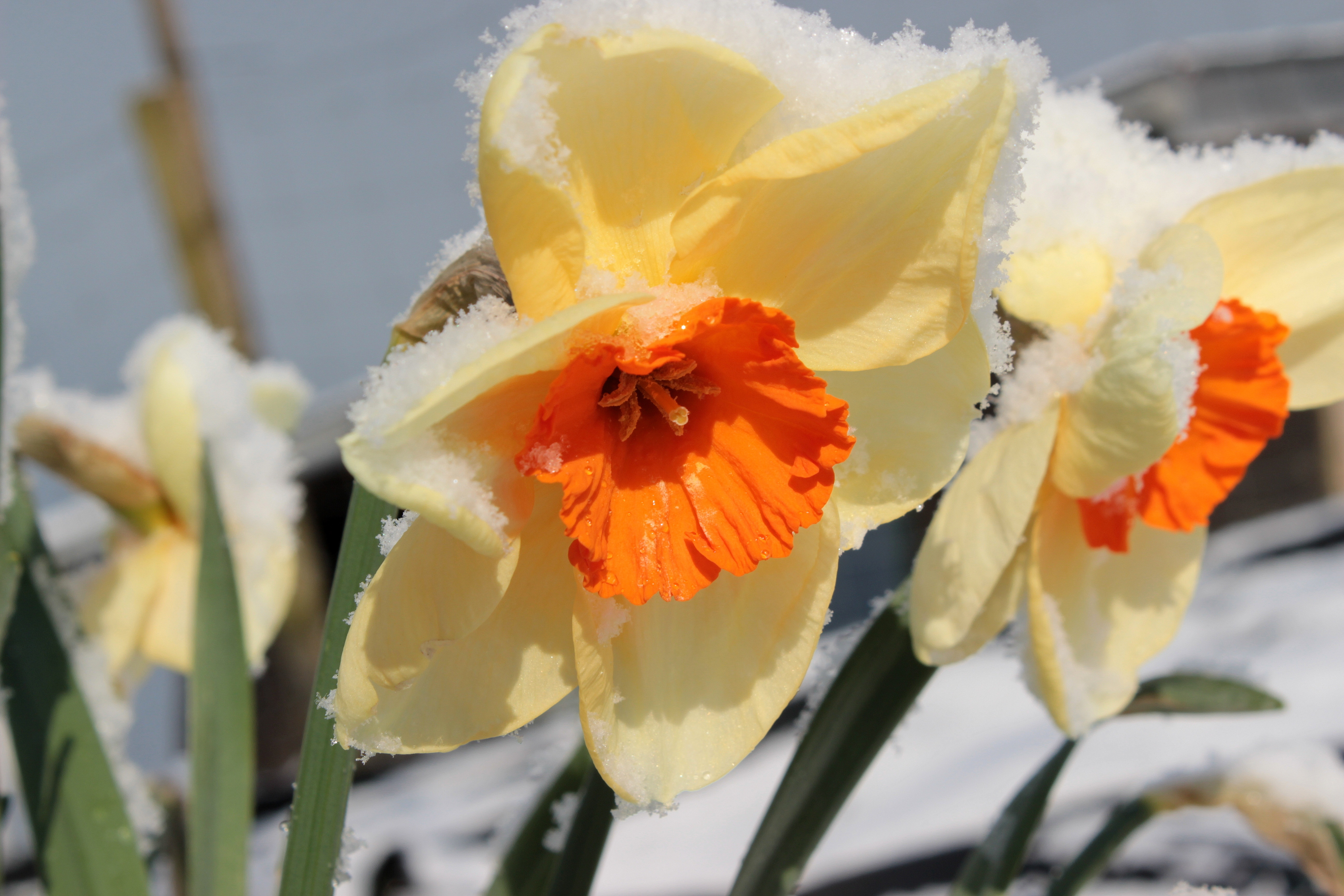 Daffodil spring yellow orange