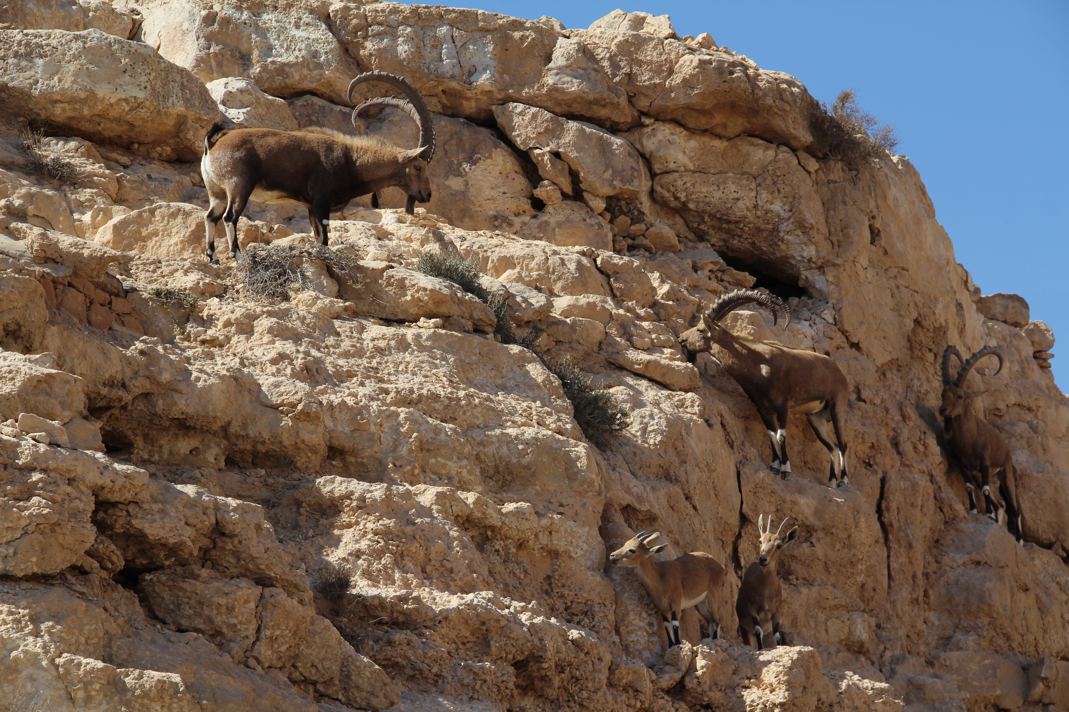 Rock mountain goat desert