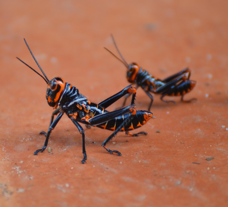 Grasshopper nature guyana