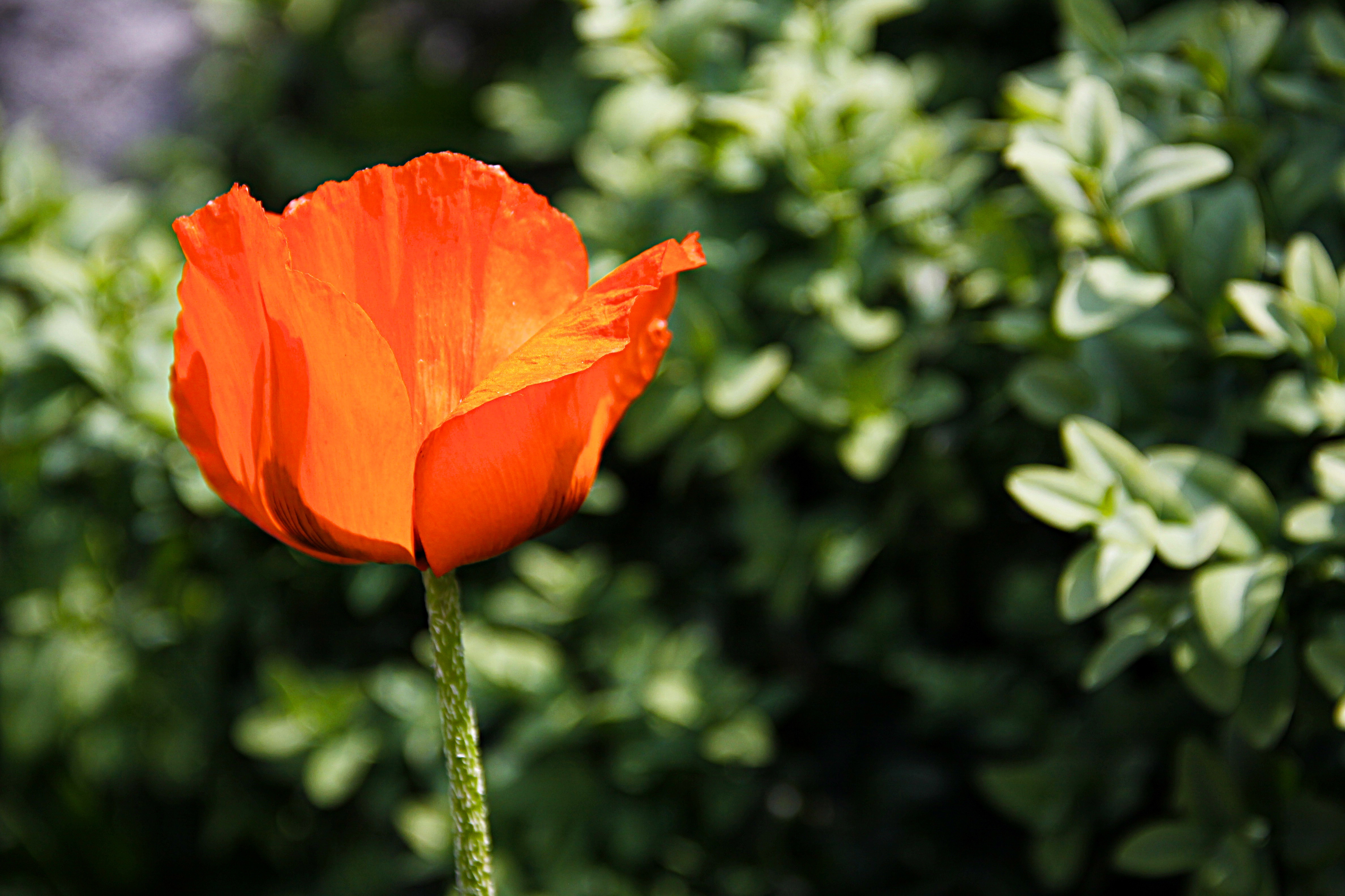 Blossom bloom poppy flower