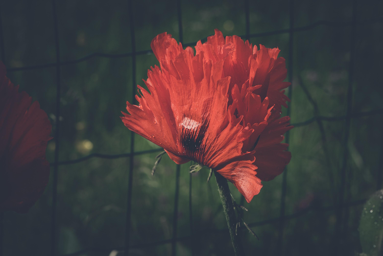 Red poppy blossom bloom