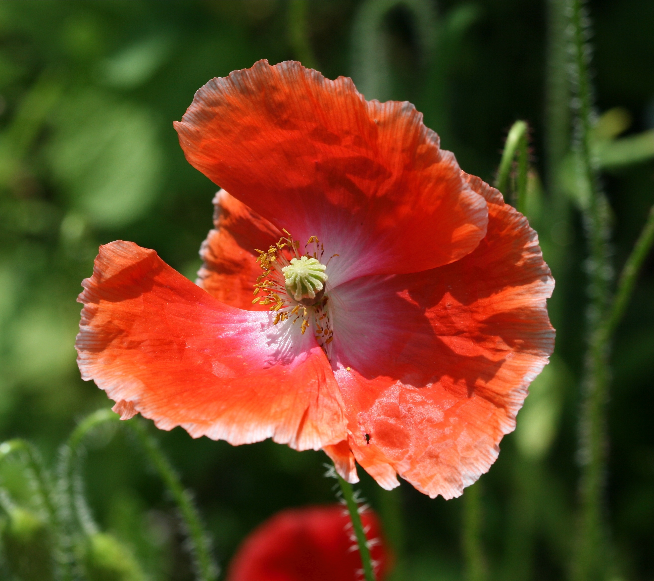 Poppies blossoms blooms