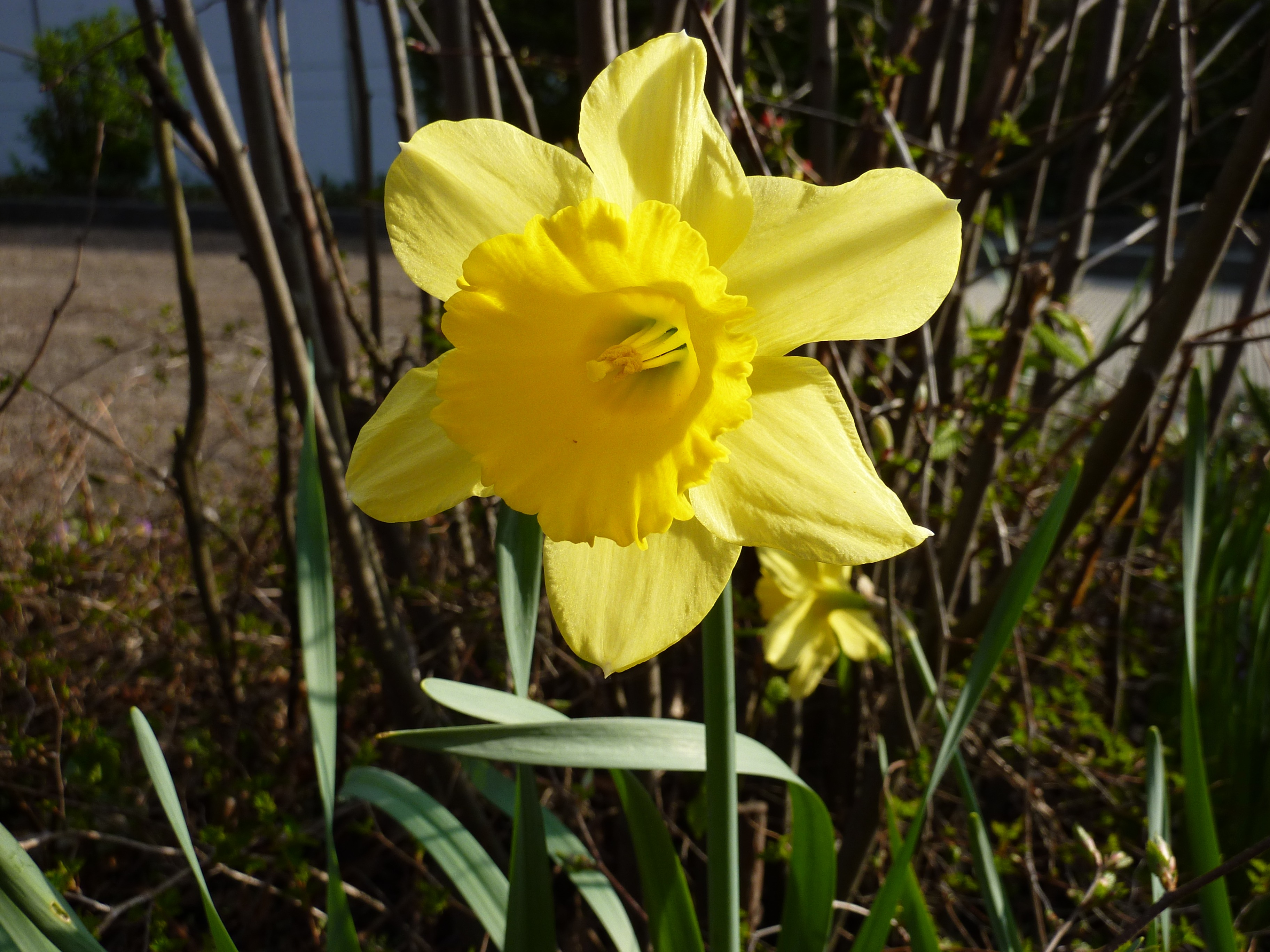 Yellow flower plant daffodil