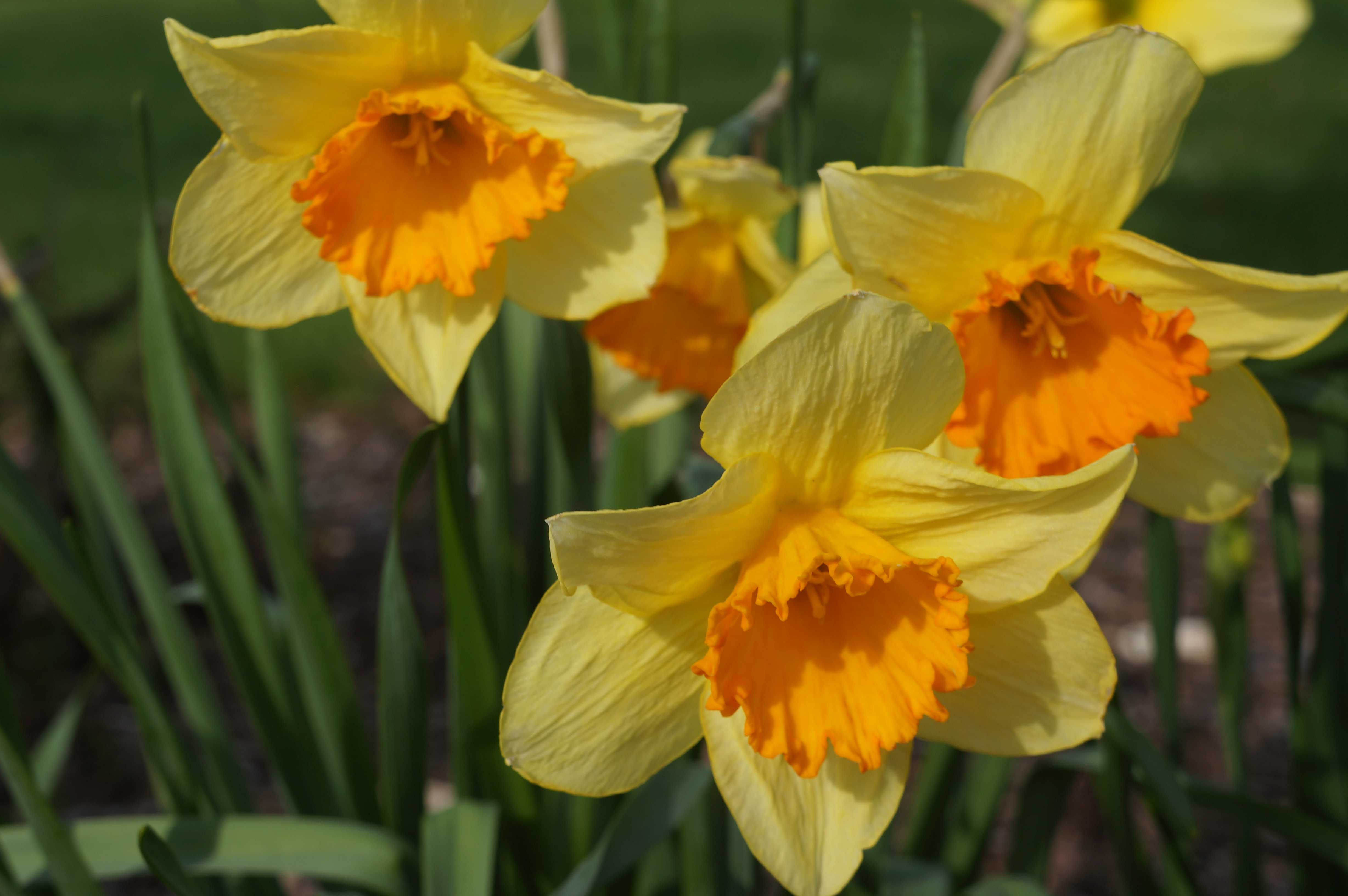 Flowers bulb flowers yellow orange daffodil