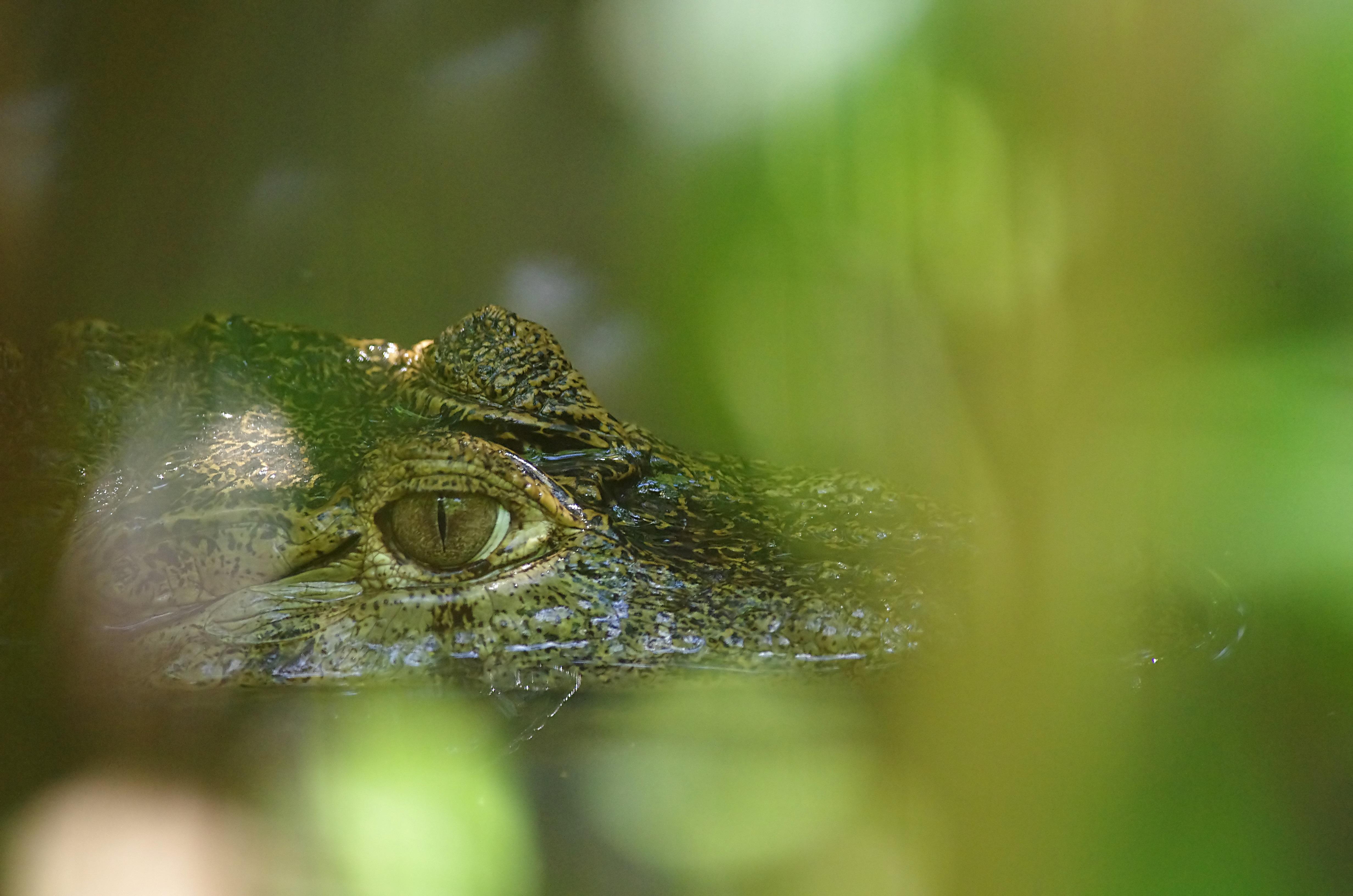 Crocodile green guyana