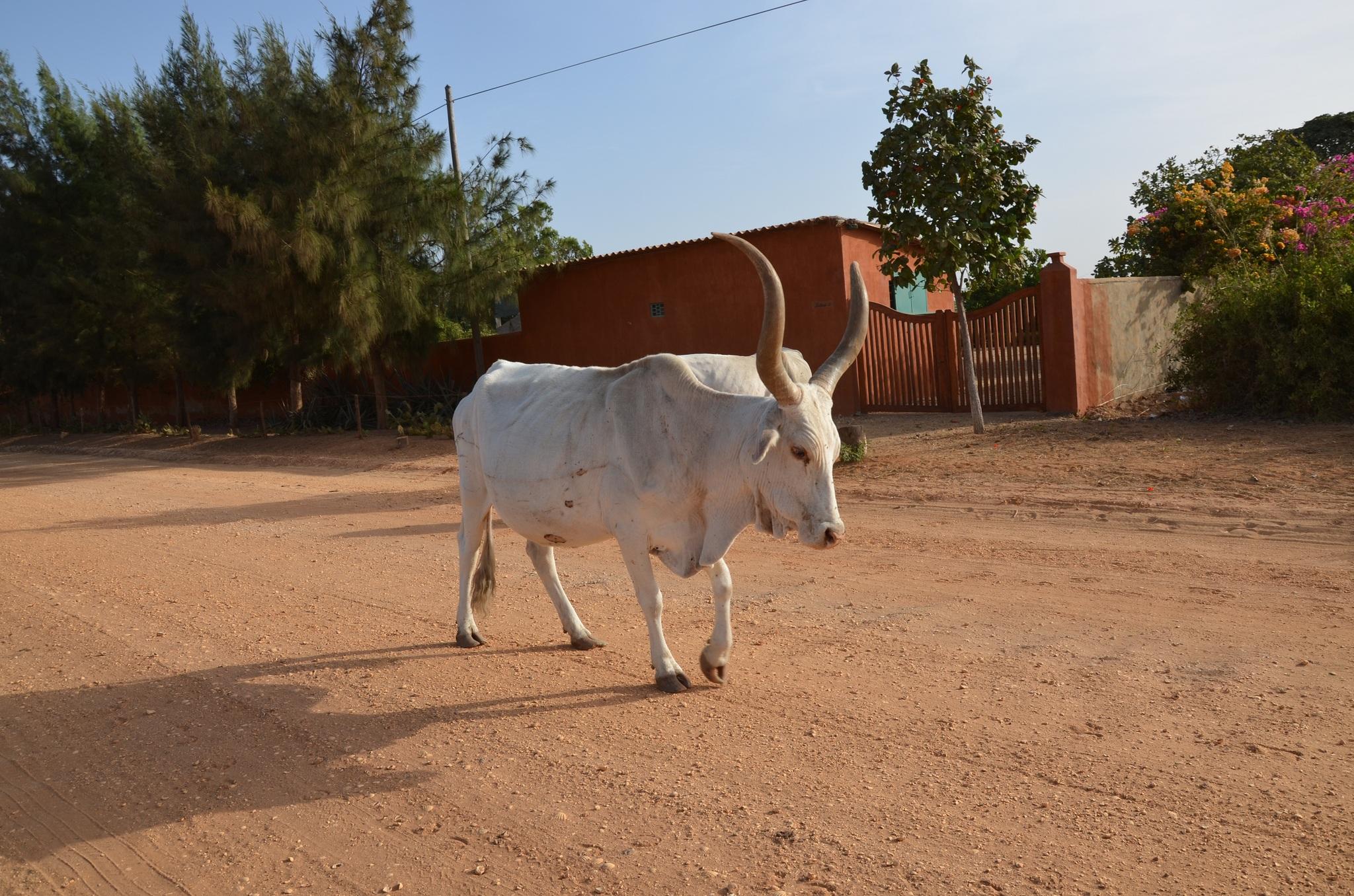Zebu cow africa