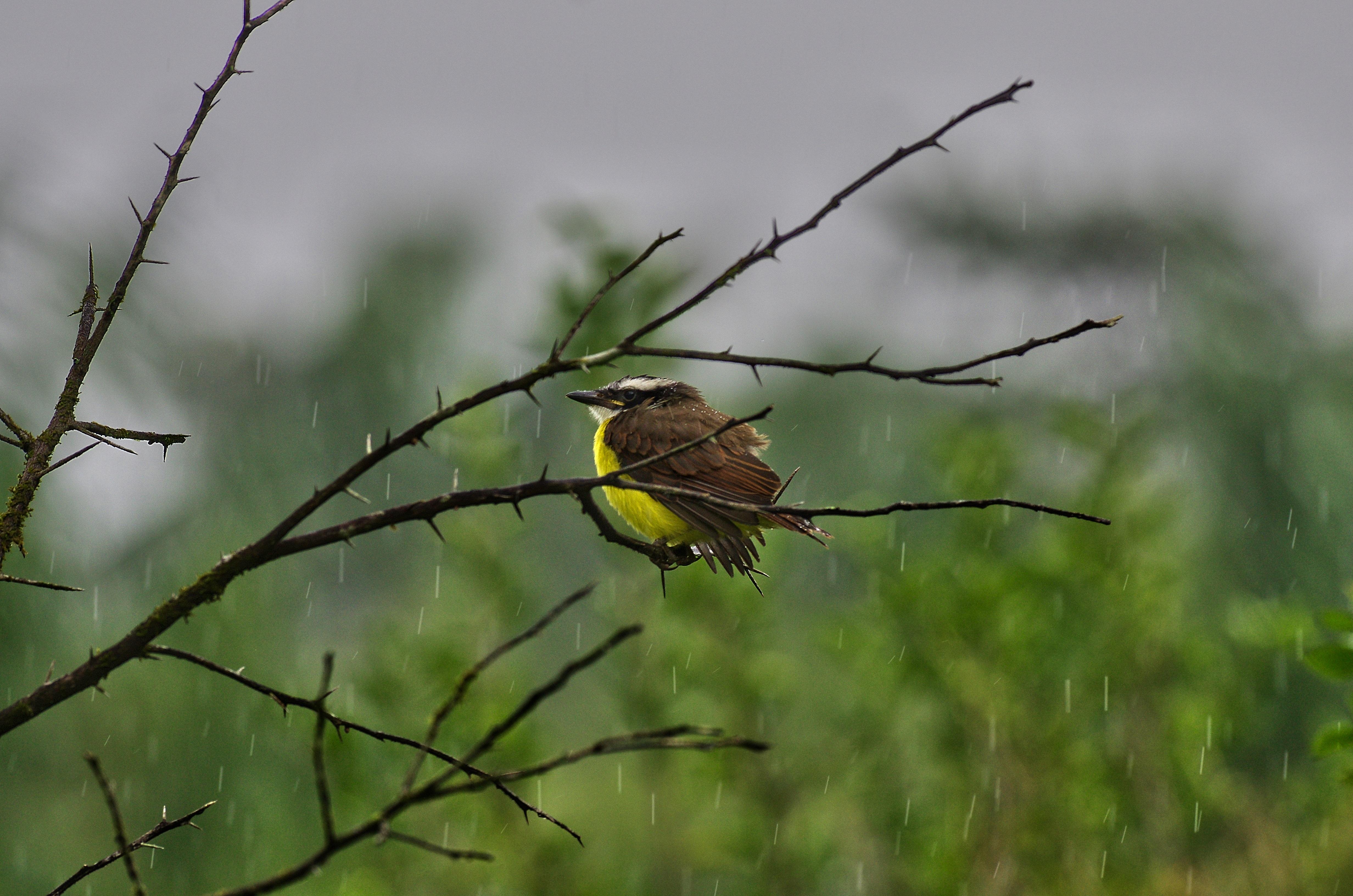 Kikiwi guyana rain